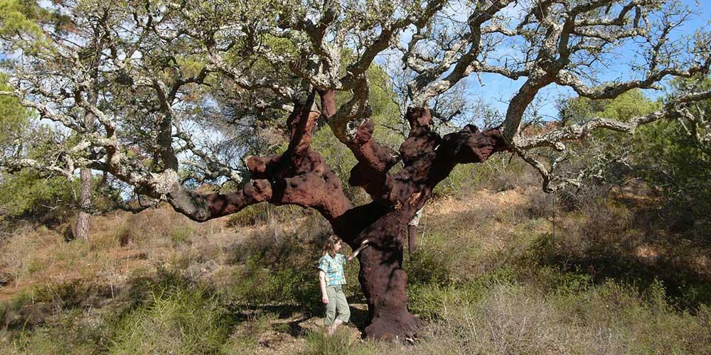 Quercus subec (Kurkeik)