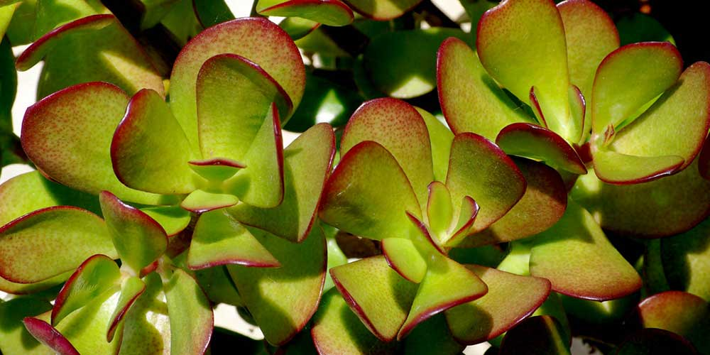 Crassula argentea (Crassula ovata)