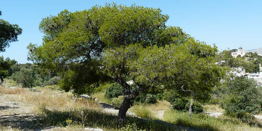 Pijnboom (Pinus)